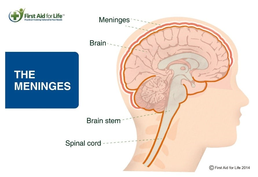meninges diagram